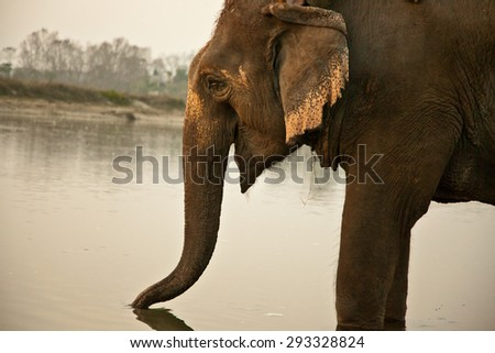 Elephant in water - stock photo