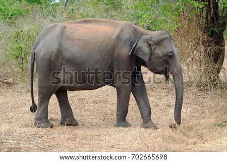 Elephant in wild, Sri Lanka