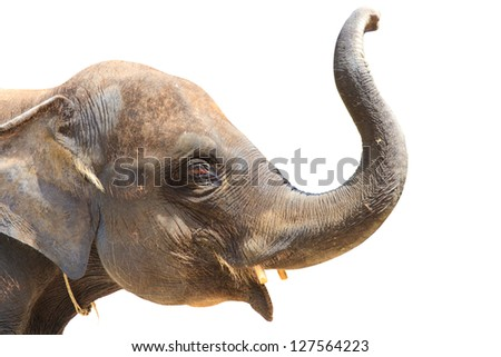 Elephant isolated against white background. With Clipping path