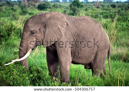 Elephant isolated in the tall grass of the savanna in Tanzania