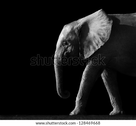 Elephant Isolated on a Black Background - stock photo