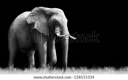 Elephant isolated on black background