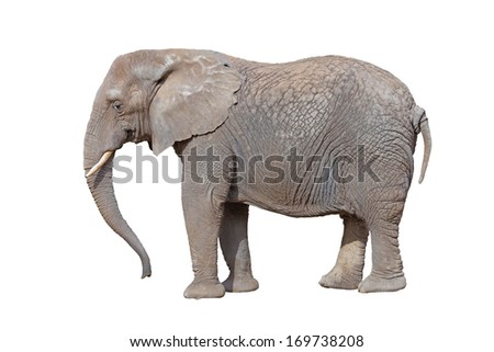 elephant isolated on white  background - stock photo