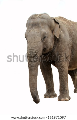 Elephant isolated on white, front view looking to the right
