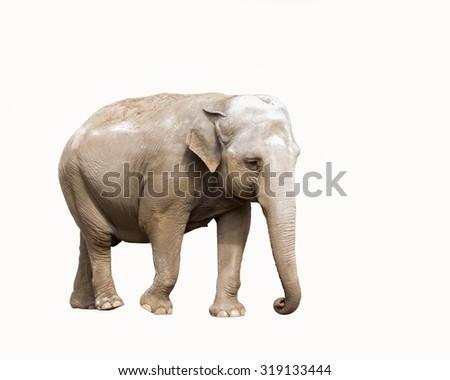 elephant isolatet - stock photo