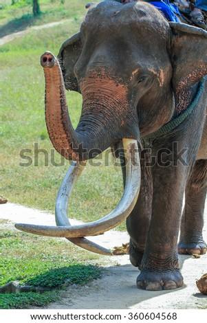 Elephant Ivory ,Elephant,Thailand  - stock photo