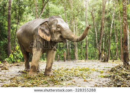 Elephant jungle pregnant and the baby moving inside. - stock photo