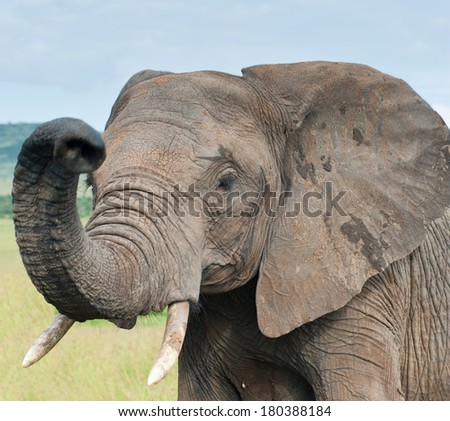 elephant, Kenya, Africa - stock photo