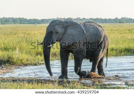 Elephant leaving shallow river in golden light - stock photo