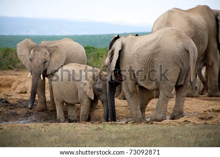 Elephant lifestyle in South Africa