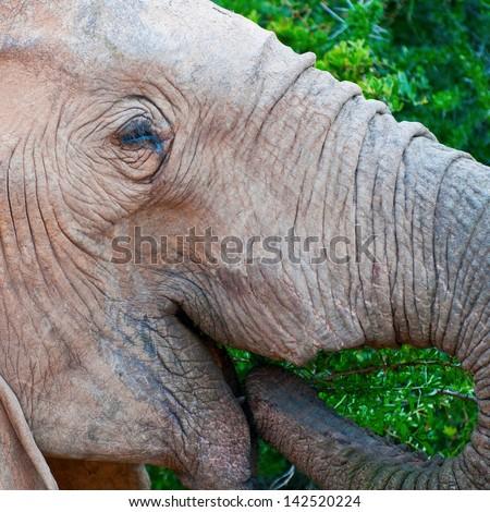 Elephant loving some lushious bush - stock photo