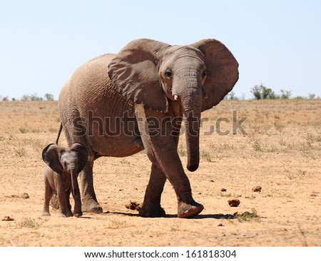 Elephant, Loxodonta africana, mother and child. Photographed in the Etosha National Park, Namibia. - stock photo