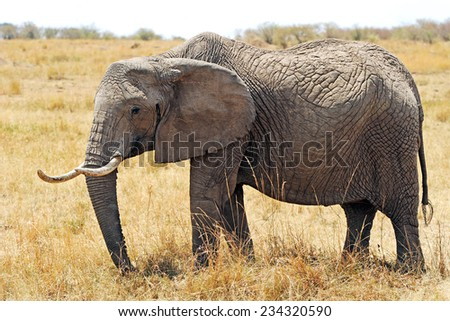 Elephant (Loxodonta africana) on the Masai Mara National Reserve safari in southwestern Kenya. - stock photo