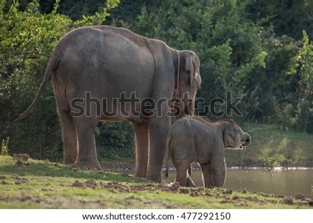 Elephant Mother and Son drinking water in pound