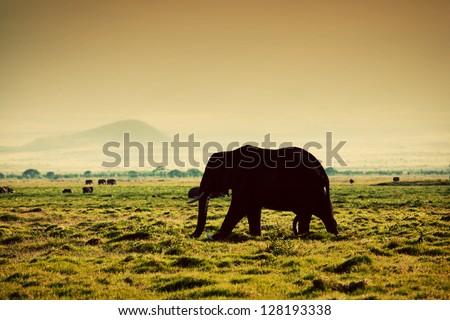 Elephant on African savanna at sunset. Safari in Amboseli, Kenya, Africa - stock photo