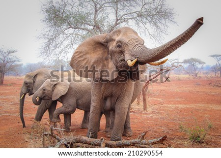 Elephant on red sand, South Africa - stock photo