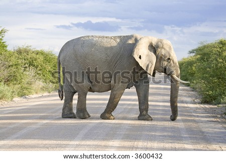 elephant on road in africa