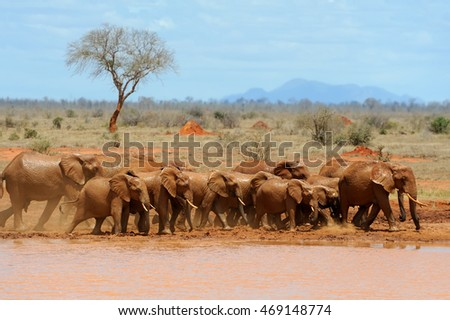 Elephant on savannah in National park of Africa