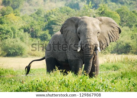 Elephant on The Victoria Nile bank, Uganda. - stock photo