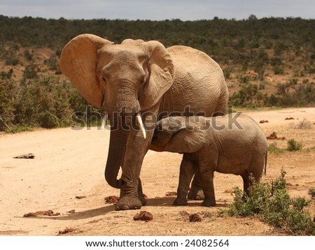 Elephant pit stop along the road to the waterhole. - stock photo