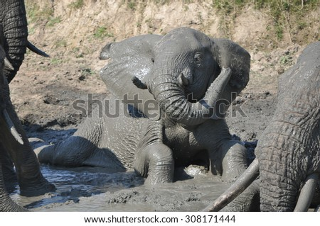 Elephant playing in water on Naledi Game Lodge safari in Greater Kruger National Park - stock photo