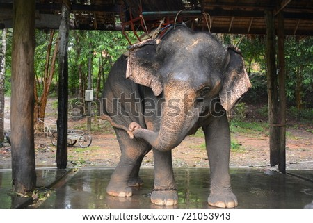 Elephant playing with his tail, Koh Chang island, Thailand