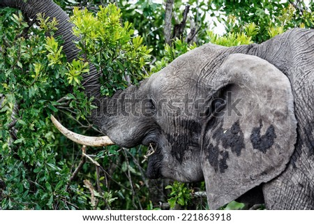 Elephant pulling off leaves with his trunk in Masai Mara, Kenya - stock photo