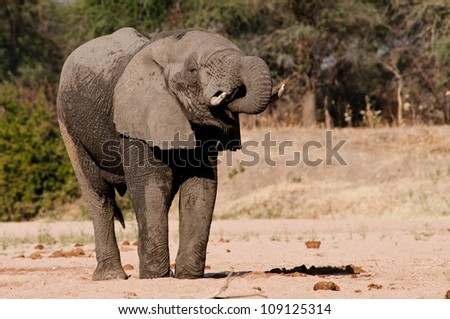 Elephant quenching his thirst from a well he dug in the dry sand river, Ruaha National Park, Tanzania. - stock photo