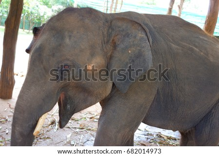 Elephant with open mouth stock images royalty free images vectors shutterstock - Elephant assis ...