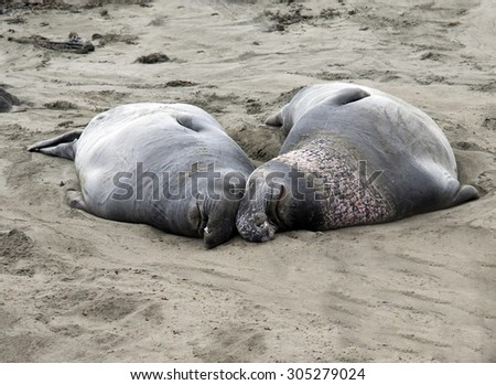 Elephant Sea Lions in a Cute Poise on the Beach at the Sanctuary North of Hearst Castle California Coach - stock photo