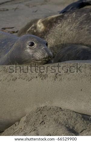 Elephant Seal - stock photo