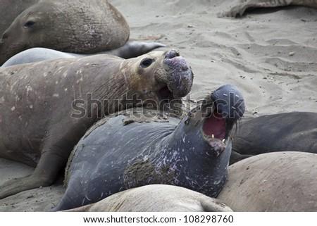 Elephant Seal Colony at San Simeon, USA - stock photo