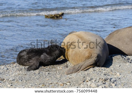 Elephant seal feeds puppy