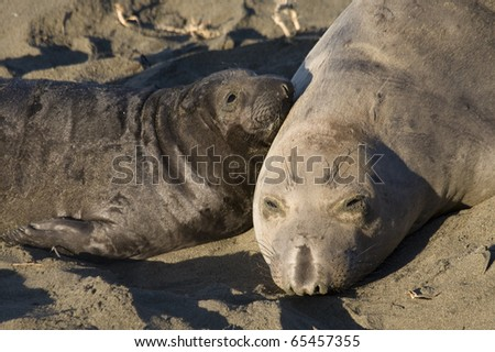 Elephant Seal Mom and her pup on Beach in San Simeon - stock photo