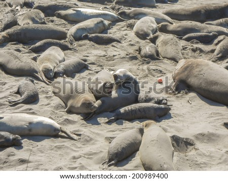 Elephant seal rookery on Piedra Blancas beach in Big Sur California