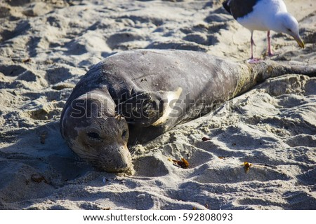 Elephant seal scratching its head