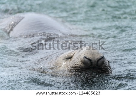 Elephant seal tries to keep the head out of the water. South Georgia, South Atlantic Ocean.