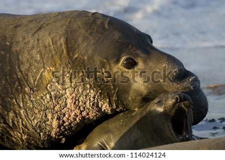 Elephant Seals mate on San Simeon Beach - California - stock photo