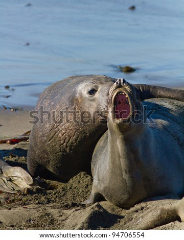 elephant Seals mating during their breeding season on the California coast