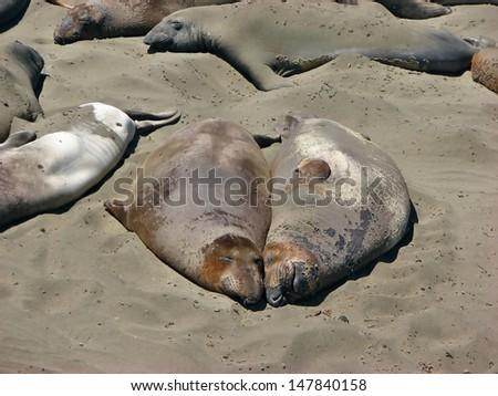Elephant Seals Big Sur Elephant Seals Near Big Sur