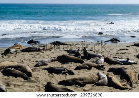 Elephant seals on the beach at Piedro Blanca Elephant Seal Rookery on the California coast. - stock photo