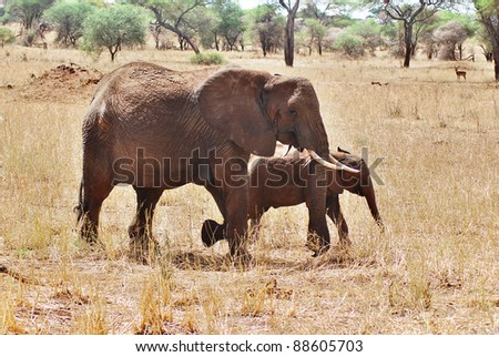 Elephant Serengeti Tanzania. The Serengeti hosts the largest mammal migration in the world, which is one of the ten natural travel wonders of the world. - stock photo