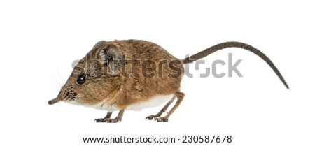 Elephant shrew - Macroscelides proboscideus - isolated on whitre - stock photo