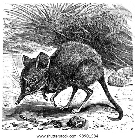 """Elephant-Shrew - Macroscelides Typicus - an illustration to article """"Insectivore"""" of the encyclopedia publishers Education, St. Petersburg, Russian Empire, 1896 - stock photo"""