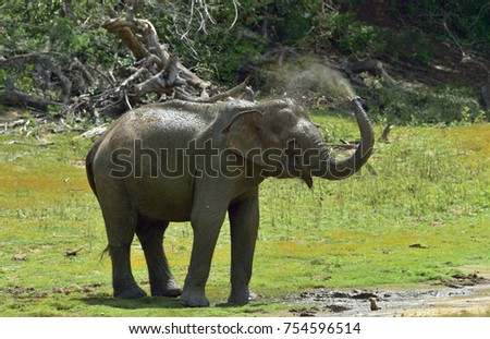 Elephant spraying dirt and water on itself from its trunk.. The adult  Male of Sri Lankan elephant (Elephas maximus maximus).