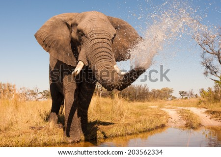 Elephant spraying water with his trunk - stock photo