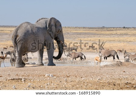 Elephant, springbok, oryx and zebras in the Etosha National Park, Namibia