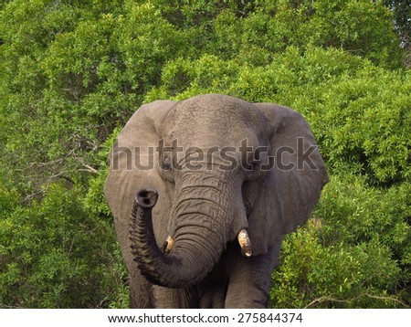 Elephant stand off in Thornybush reserve - stock photo