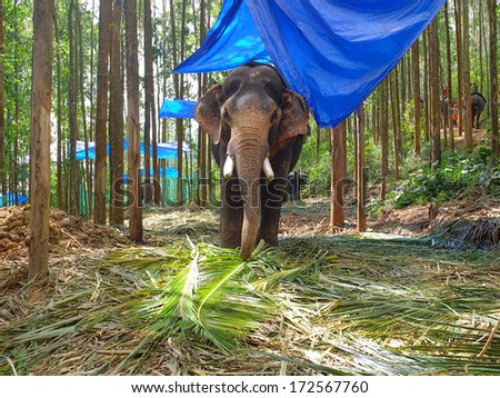Elephant standing in a forest elephant park, Munnar, Kerala, India. - stock photo