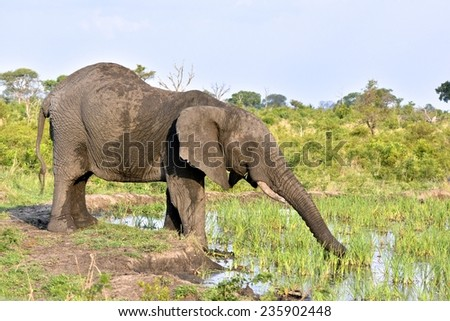 Elephant stretching out for the best reeds at a water hole at Londolozi Game Reserve, Kruger National Park, South Africa - stock photo